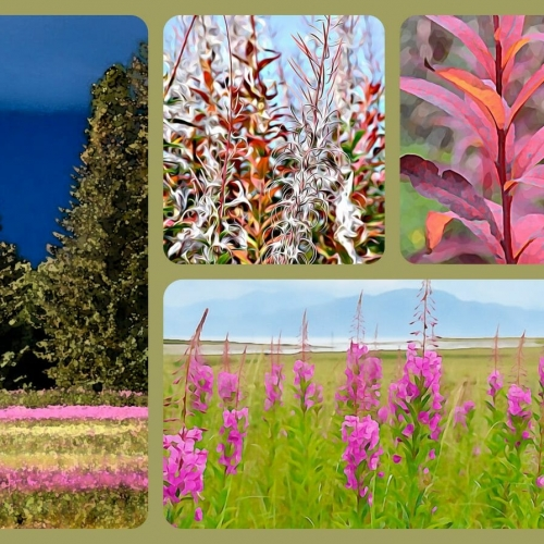 #2107 – Fireweed Collage
